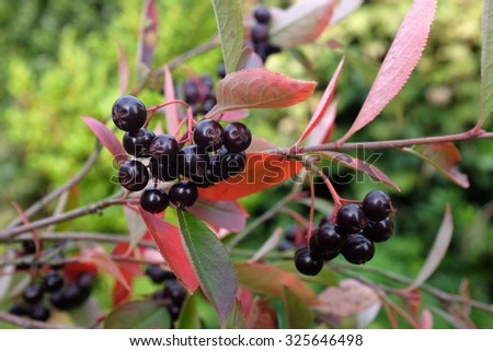 Black berries among autumn leaves on an aronia shrub, commonly known as chokeberry  - stock photo