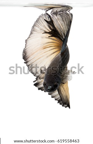 black betta fish isolated on white