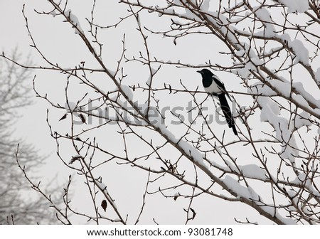 Black-billed magpie (Pica hudsonia) perched on a tree. Winter. Alaska