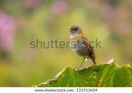 Black-billed Nightingale-Thrush - stock photo