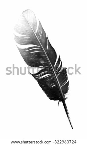black bird feather isolated on white background