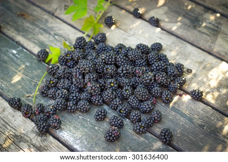 black blackberries, ripe blackberries, unripe blackberries on the bush, black blackberries on an old wooden table top, black blackberries in hands - stock photo