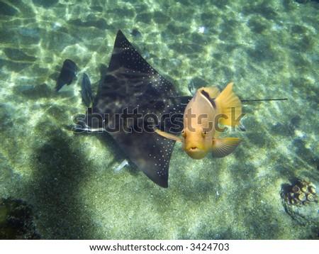 Black-blotched Rainbowfish (Halichoeres chloropterus) swimming over Spotted Eagle Ray. - stock photo