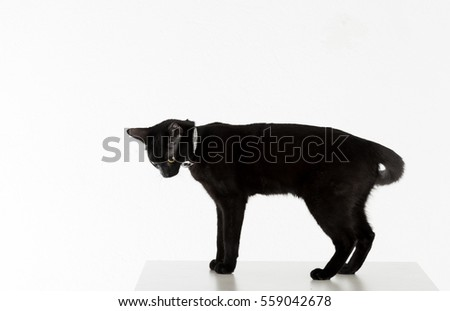 Black Bombay Cat Standing on the White Background.  Looking Away