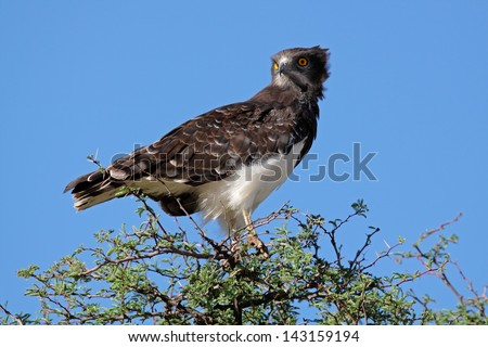 Black-breasted snake eagle (Circaetus gallicus) perched on a tree, Kalahari, South Africa  - stock photo