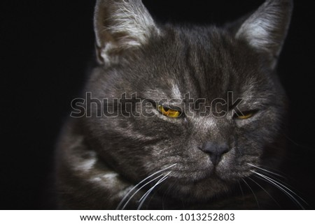 Black british cat closeup face with yellow eyes in dark background. Black banner