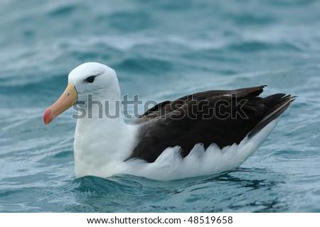 Black-browed Albatross in New Zealand - stock photo