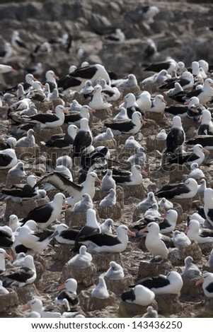 Black-browed Albatross (Thalassarche melanophris melanophris), Black-browed subspecies, adults and chicks on their nests at a large breeding colony on Steeple Jason Island in the Falklands. - stock photo
