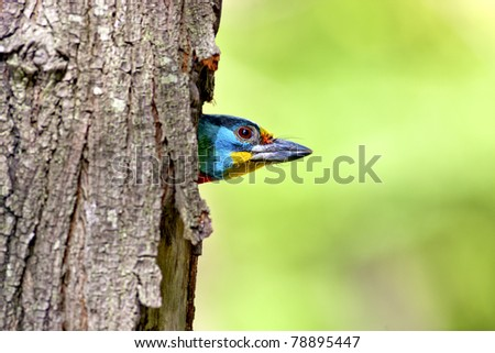 Black-browed Barbet a bird hatching at nest on a tree hole - stock photo