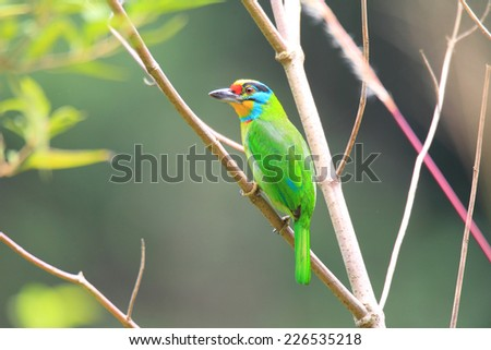 Black-browed Barbet (Megalaima oorti) in Sumatra, Indonesia - stock photo