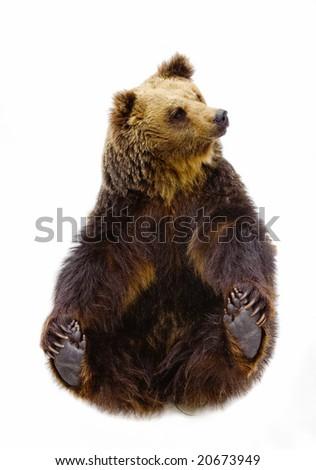 Black brown bear sitting pose. - stock photo