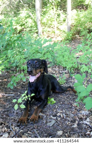 black brown Doberman observed his surroundings exactly