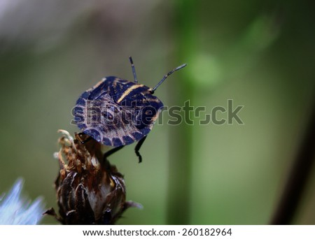 black bug with a unusual pattern on the back is sitting on a dry Bud in the garden.big black bug - stock photo