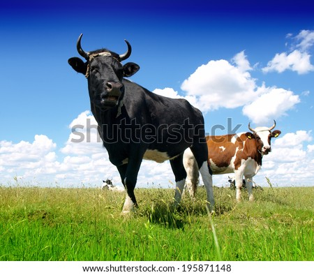 Black Bull and cow  - stock photo