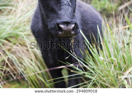 Black bull eating grass in the countryside. Huaraz, Peru, South America - stock photo