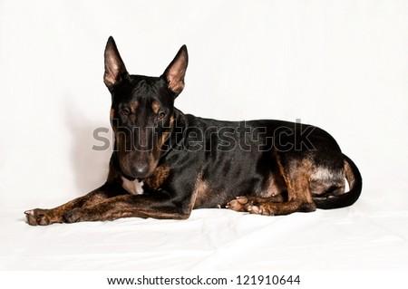 black bull terrier - stock photo