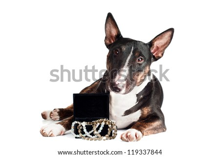 black bull terrier dog with a box of jewelry