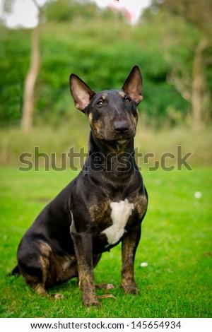 Black bull terrier miniature - stock photo