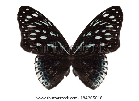 Black butterfly isolated - stock photo