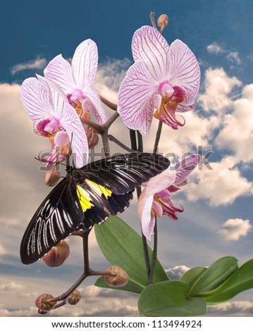 Black butterfly on the pink orchid - stock photo
