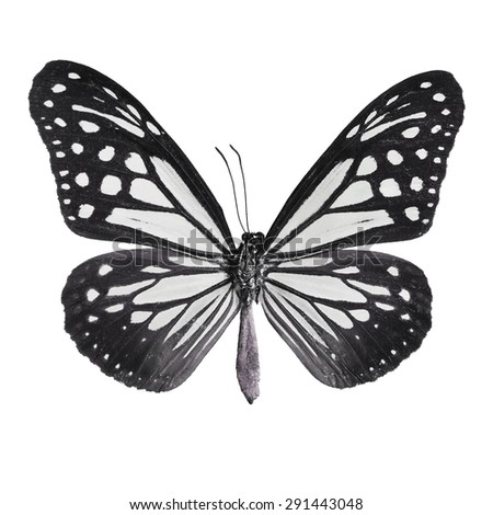 Black butterfly,Tawny Mime butterfly in fancy color profile, isolate on white background