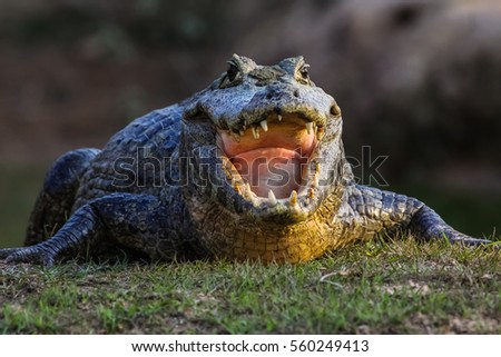 Black caiman cooling down with open mouth, facing, Pantanal, Brazil