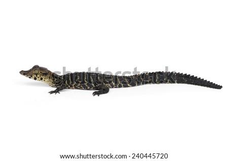 Black caiman (Melanosuchus niger) - stock photo