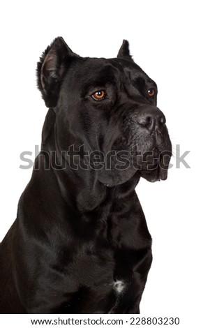 black cane corso dog - stock photo