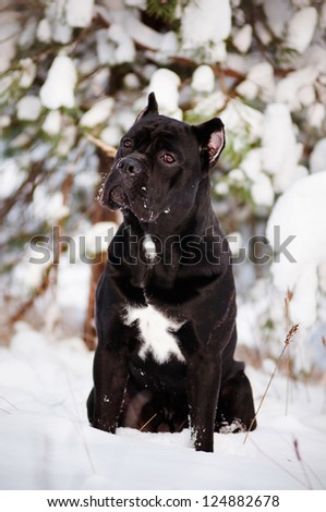 black cane corso dog winter portrait - stock photo