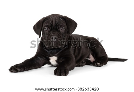 Black Cane Corso puppy isolated on white background. Front view, lying