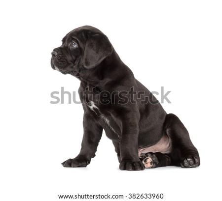 Black Cane Corso puppy isolated on white background. Side view, sitting. - stock photo
