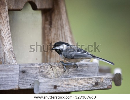 Black-capped Chickadee at a fedder Canada small bird Ontario - stock photo