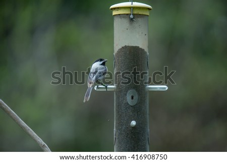 Black-capped chickadee eating seed at a bird feeder