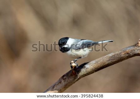 Black Capped Chickadee in a forest in Quebec. - stock photo