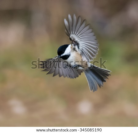 Black-Capped Chickadee in Flight in Fall - stock photo