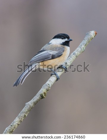 Black-capped Chickadee perched on a tree branch. - stock photo