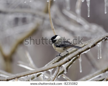 Black-capped chickadee perched on an icy tree branch - stock photo