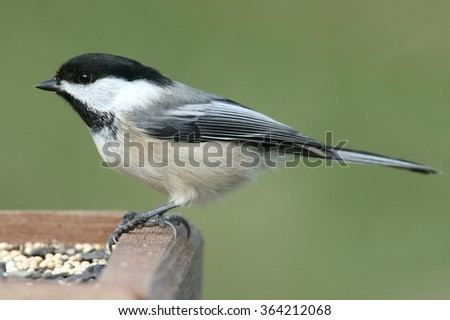 Black-capped Chickadee (poecile atricapilla) on a feeder - stock photo