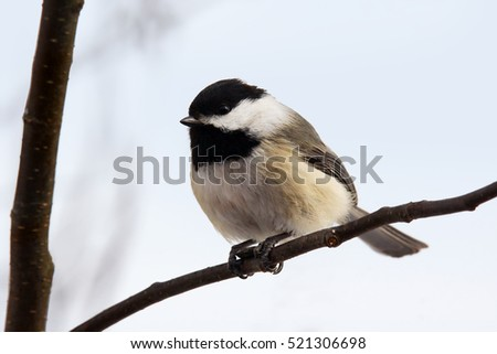 Black-capped chickadee, Poecile atricapilla, perched on branch