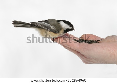 Black-capped Chickadee (Poecile atricapillus) Eating Seeds From a Hand - stock photo