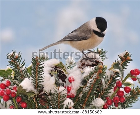 Black-Capped Chickadee (Poecile atricapillus) on festive holly and spruce boughs. - stock photo