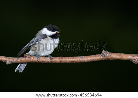 Black-capped Chickadee - Poecile atricapillus, perched on a branch, calling out to it's mates, and making eye contact.