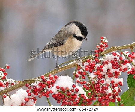 Black-capped Chickadee (Poecile atricapillus). Winter Black-capped Chickadee standing on a snowy branch loaded with bright red berries