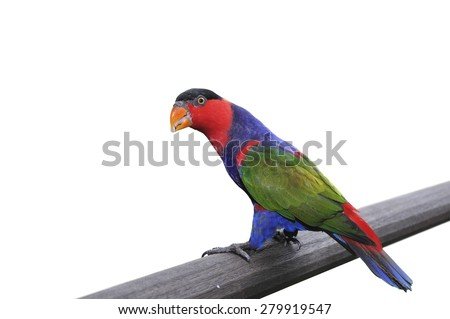 Black-capped Lory (western black-capped lory or the tricolored lory) isolated on white background.