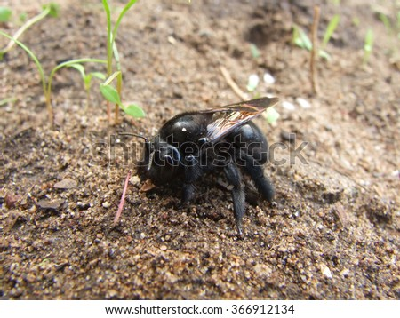 Black Carpenter Bee on Dirt