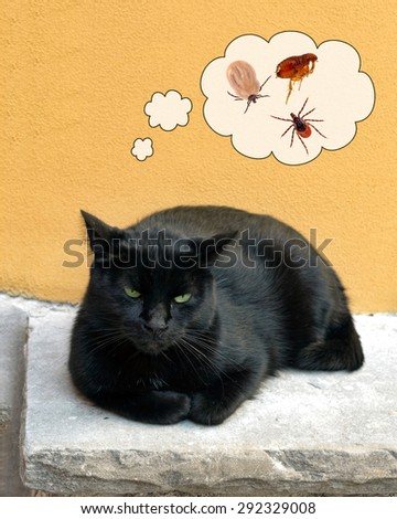 Black cat considering the problem of ticks, fleas. Looks slightly cross. Veterinary care. - stock photo