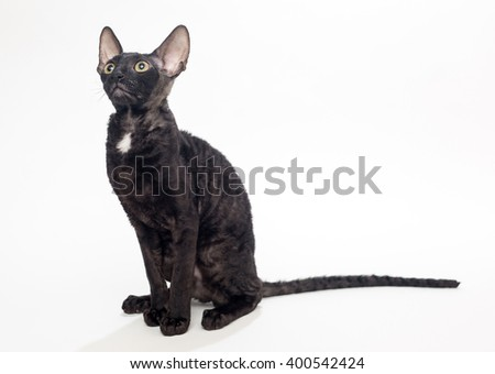 Black cat Cornish Rex on a white background, not isolated