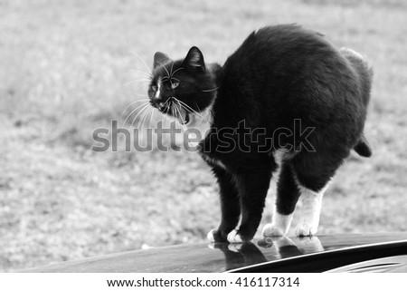Black cat in attack pose - stock photo
