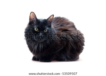 black cat in front on  white background - stock photo