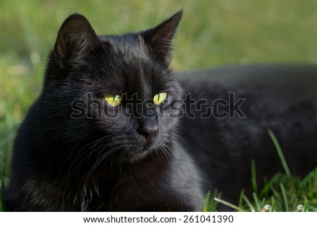 black cat in the grass, close up animal portrait, green background with copy space